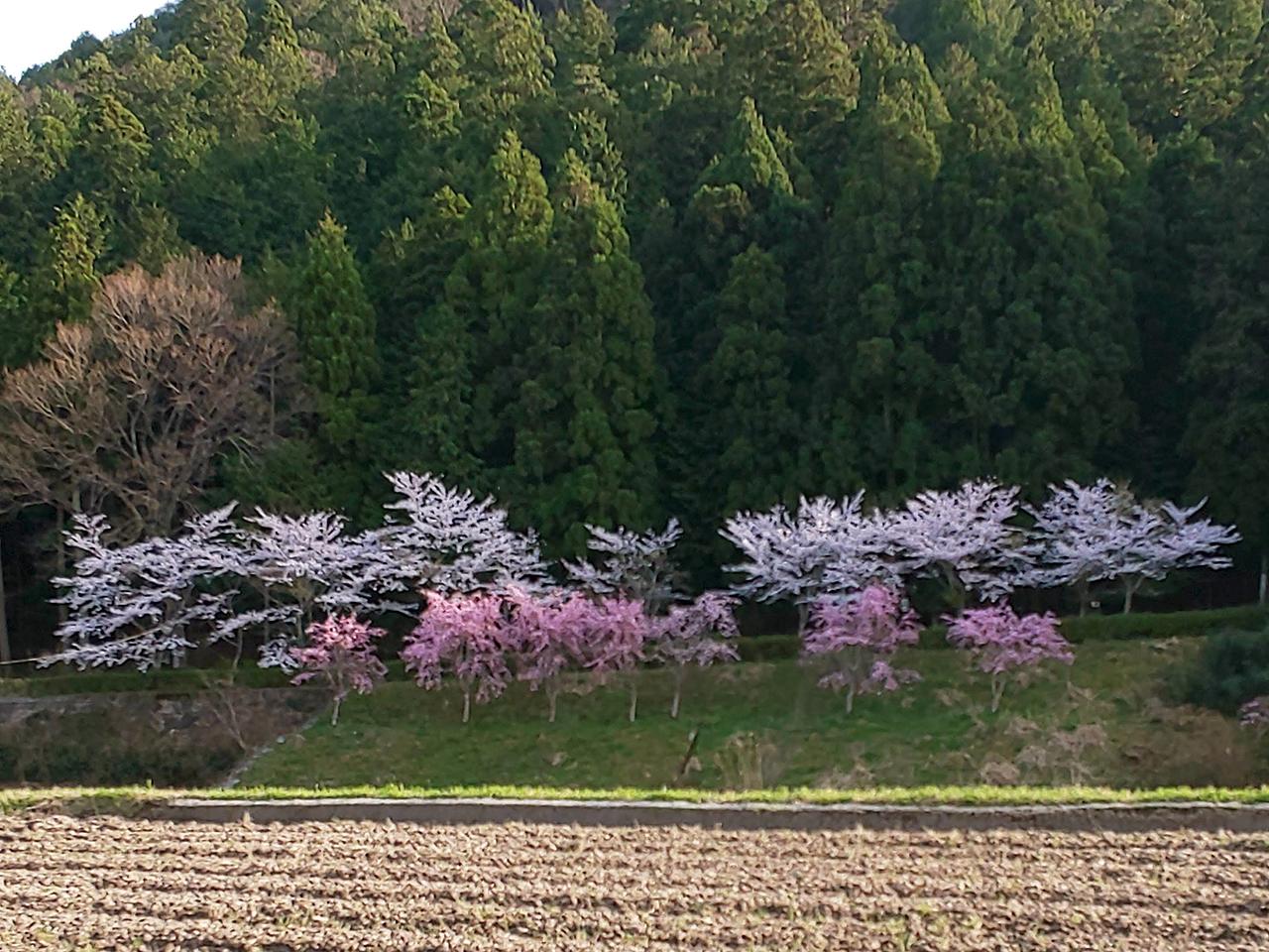 日野町小野の桜